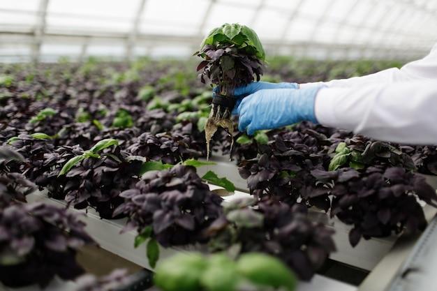 Plantas sendo plantadas em estufa