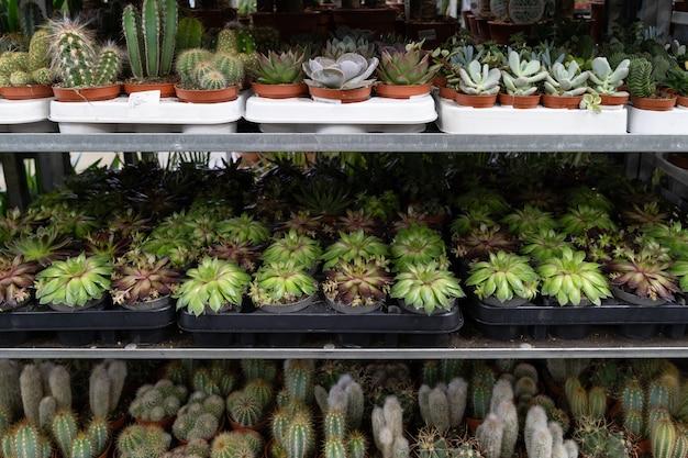 Plantas suculentas de cactos pequenos em viveiro de vasos na prateleira crescem em pequenos vasos de plástico em estufa