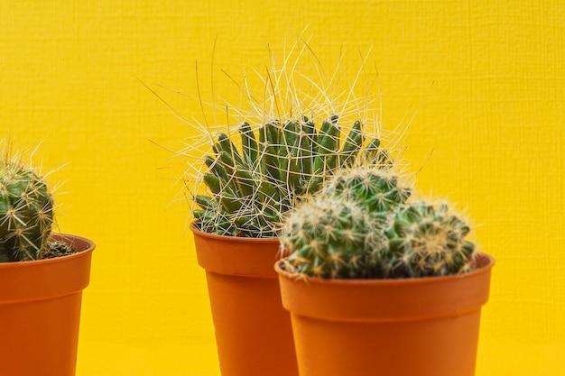 Plantas suculentas em casa em pequenos potes