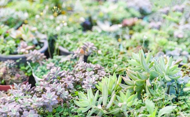 Plantas suculentas em miniatura decoram no jardim - vários tipos de plantas suculentas bonitas na fazenda de cactos