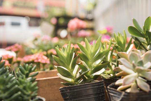 Plantas suculentas em vaso frescas