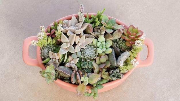 Plantas suculentas minúsculas fofas em vaso rosa close-up vista superior