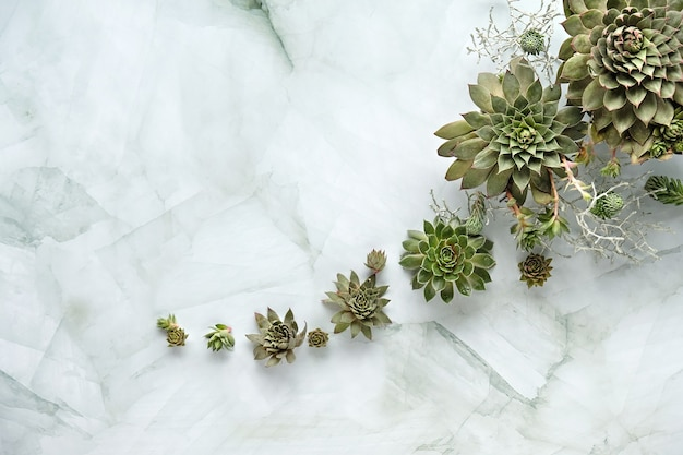 Plantas suculentas sempervivum em pedra clara