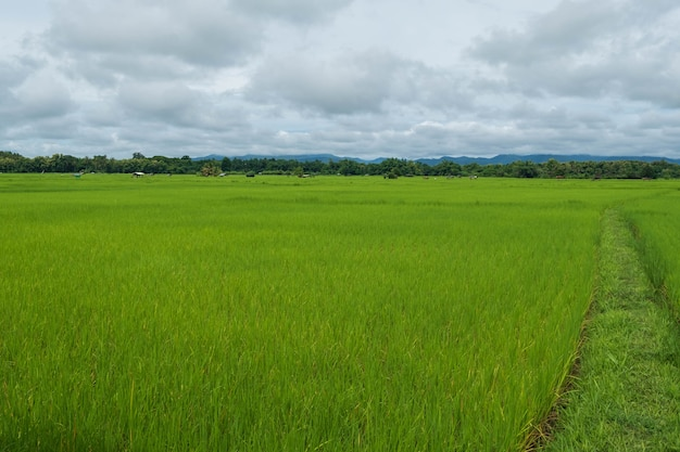 Plantas verdes de arroz no campo contra o céu