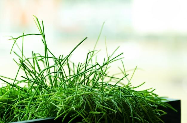 Plantas verdes ou grama no recipiente preto, pote para casa, restaurante, café e decoração do escritório. primavera e verão. conceito de estilo de vida minimalista.