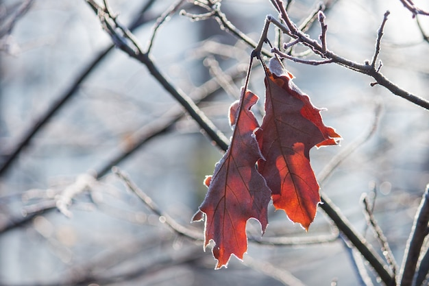 Plante com as folhas marrons cobertas com a geada da manhã. final de outono.