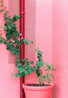 Plante em rosa. amantes das plantas. conceito mínimo