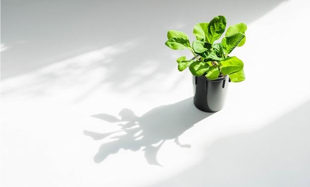 Plante em vaso com luz e sombra. copyspace.