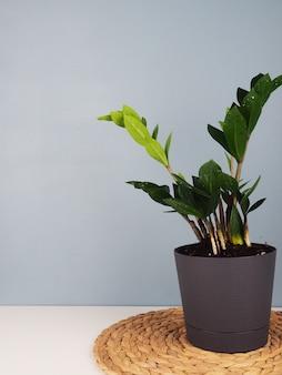Plante em vaso sobre fundo de parede azul com espaço de cópia.