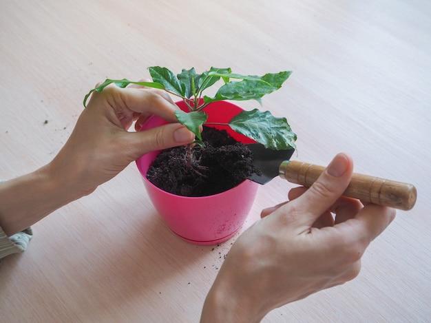 Plante mudas para plantar. criação de hibiscos.