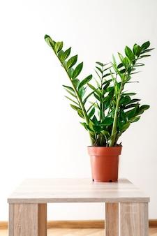 Plante no vaso, folhas verdes de zamioculcas em branco