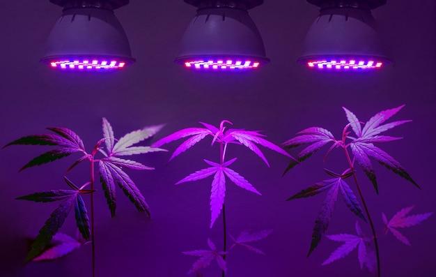 Plante uma muda de cannabis crescendo em um vaso com luz led para cultivo Foto Premium