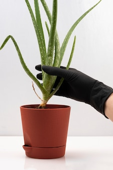 Plante uma planta em vaso de aloe vera, cultivo doméstico de plantas medicinais