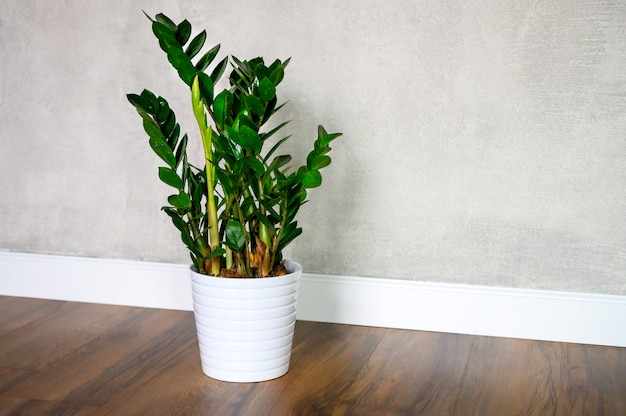 Plante zamioculcas em um vaso no chão de madeira contra uma parede de concreto leve