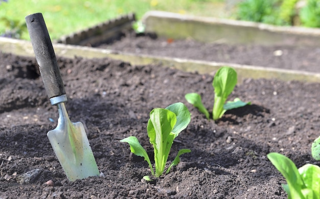 Plantio com pá no solo em jardim próximo a mudas de cultivo de alface
