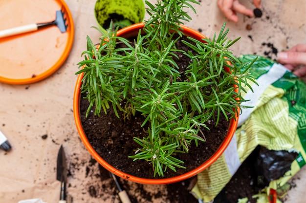 Plantio de alecrim brotam em uma panela em casa processo