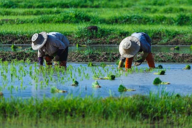 Plantio de arrozeiros puxando mudas para serem plantadas no campo