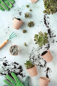 Plantio de plantas suculentas sempervivum, planas criativas em verde, marrom e branco.