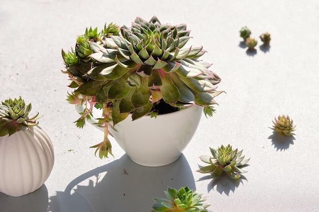 Plantio de plantas suculentas sempervivum.