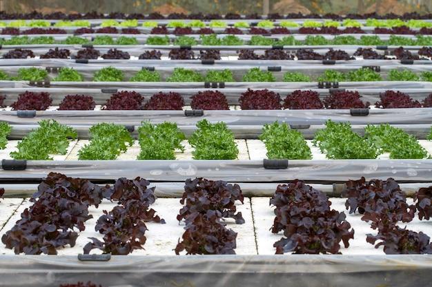 Plantio de salada vegetal por hidroponia de tecnologia