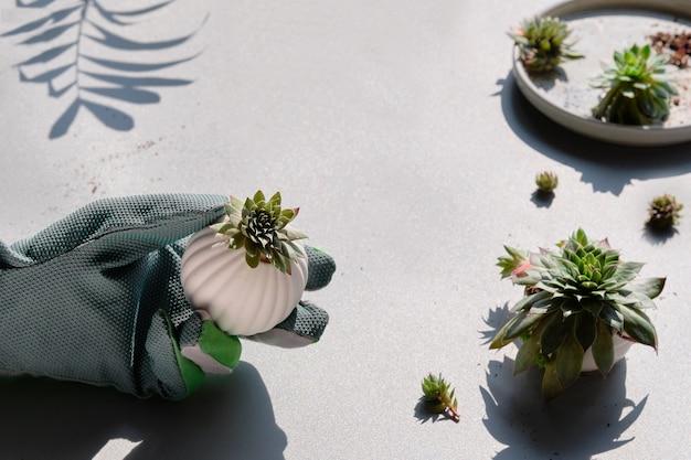 Plantio e divisão de plantas suculentas sempervivum