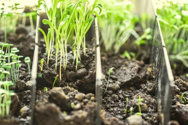 Plântulas verdes crescendo fora do solo