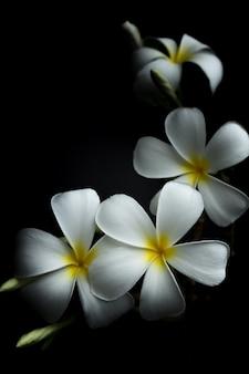 Plumeria branca ou frangipani