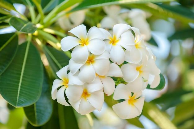 Plumeria branco florescendo da natureza