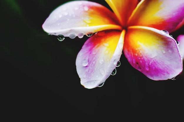 Plumeria colorido com gota de chuva depois da chuva