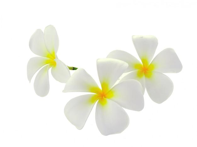 Plumeria de frangipani de flores tropicais na parede branca