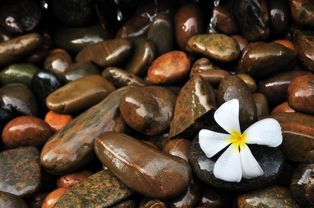 Plumeria em fundo de pedras molhadas molhadas