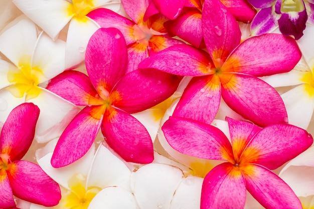 Plumeria flor branca e cor-de-rosa padrão padrão