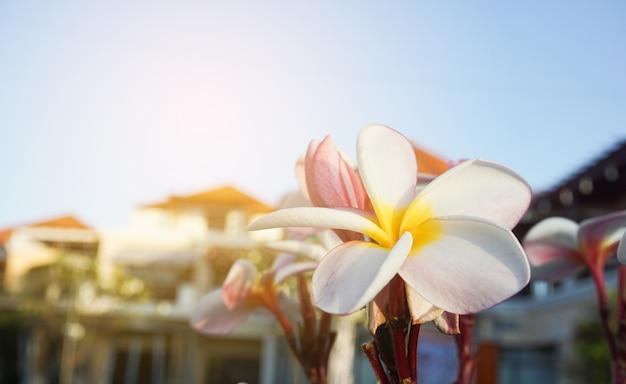 Plumeria flores no chão verde com pôr do sol
