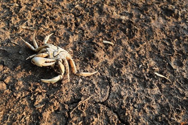 Pobre caranguejo morto sozinho em solo seco depois de menos água na seca