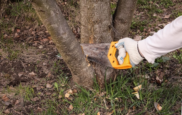 Poda de árvores frutíferas no jardim com uma serra manual. Foto Premium
