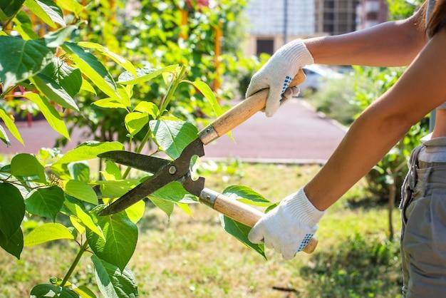 Poda de árvores no jardim com tesouras de poda. mãos com luvas, jardinagem.