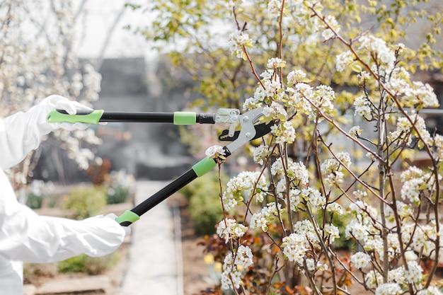 Poda de árvores. pêra em flor. trabalho de primavera na horta. mãos segurando um grande podador verde