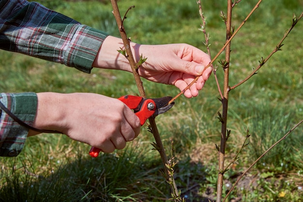 Poda de árvores por tesouras de podar no jardim primavera.