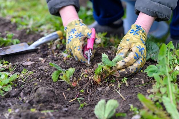 Poda de primavera e capina de arbustos de morango. mãos de mulher em luvas de jardinagem, capina de ervas daninhas e poda de folhas de morango com uma tesoura.