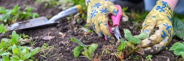 Poda de primavera e capina de arbustos de morango. mãos femininas em luvas de jardinagem