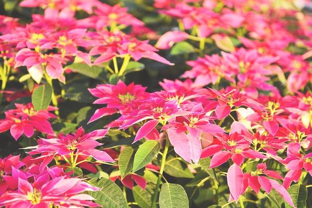 Poinsétia rosa no fundo do jardim - poinsétia decorações de flores tradicionais de natal feliz natal