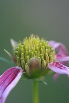Pólen de flor de macro