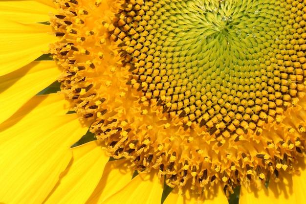 Pólen de girassol amarelo closeup