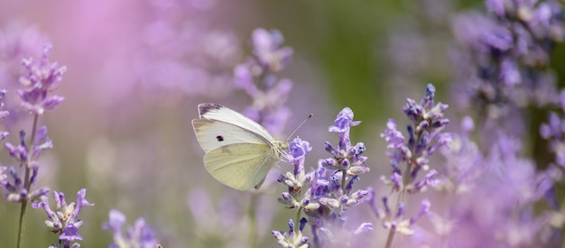 Polinização, com, borboleta, e, lavanda, com, sol, ensolarado, lavanda