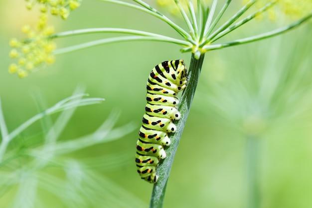Polixênios da lagarta do papílio preto com rabo de andorinha na planta de endro