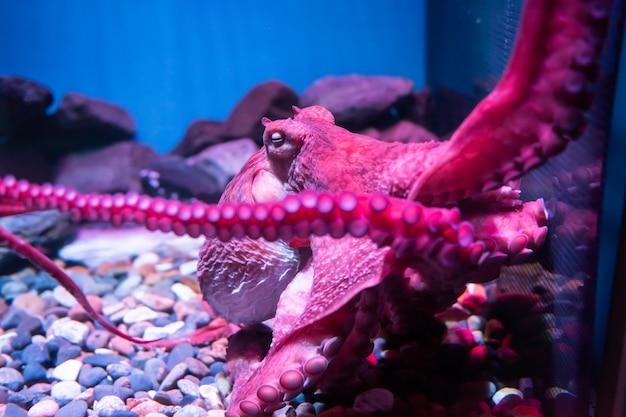 Polvo gigante rosa dorme no aquário