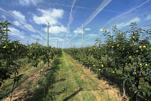 Pomar de maçã com uma rede de segurança