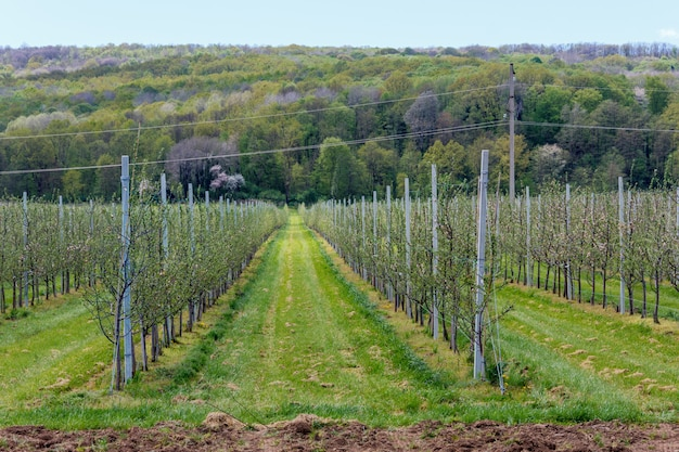 Pomar de maçãs com mudas jovens na primavera