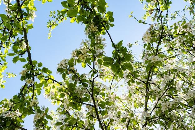 Pomar de maçãs em flor na primavera sob o sol e o céu azul
