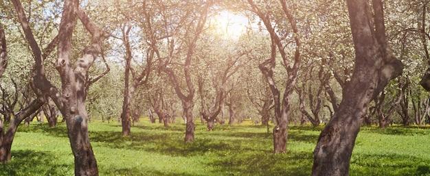 Pomar de macieiras ao sol